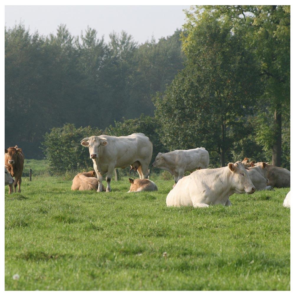 Koeien - vers vlees - Vleeshouwerij Saasveld