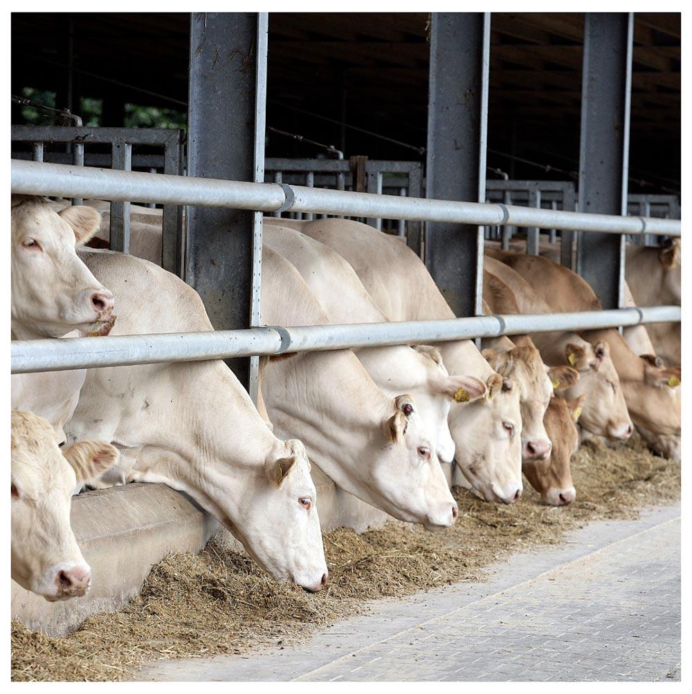 Koeien aan het voer Vleeshouwerij